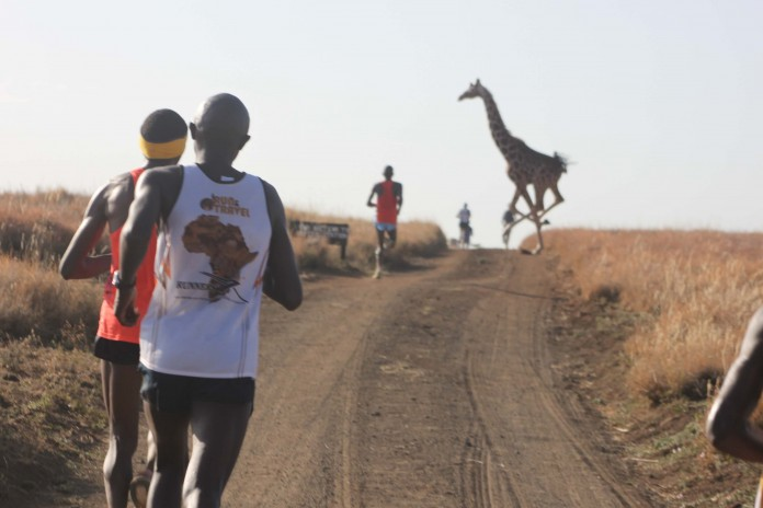 A girraffe crossing as Marathoners run through the Lewa conservency