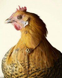 h image 1 199x250 - 'Your honour, the chicken followed me home,' says alleged thief