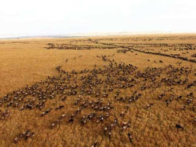 A bird's eye view of the world-famous wildebeest migration